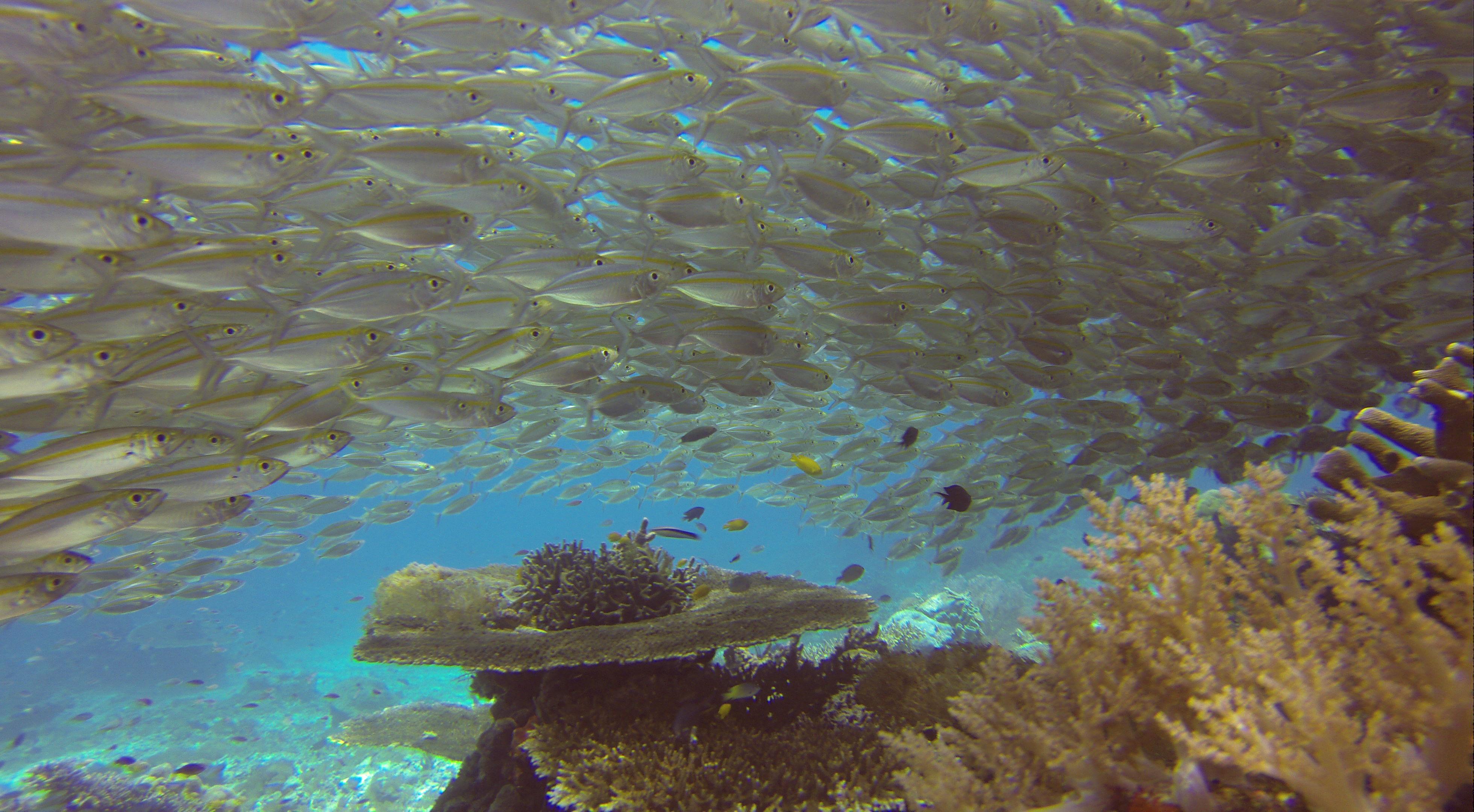 Ochsenaugen-Makrelen (Selar boops), Arborek Jetty (Foto aus GoPro-Video)