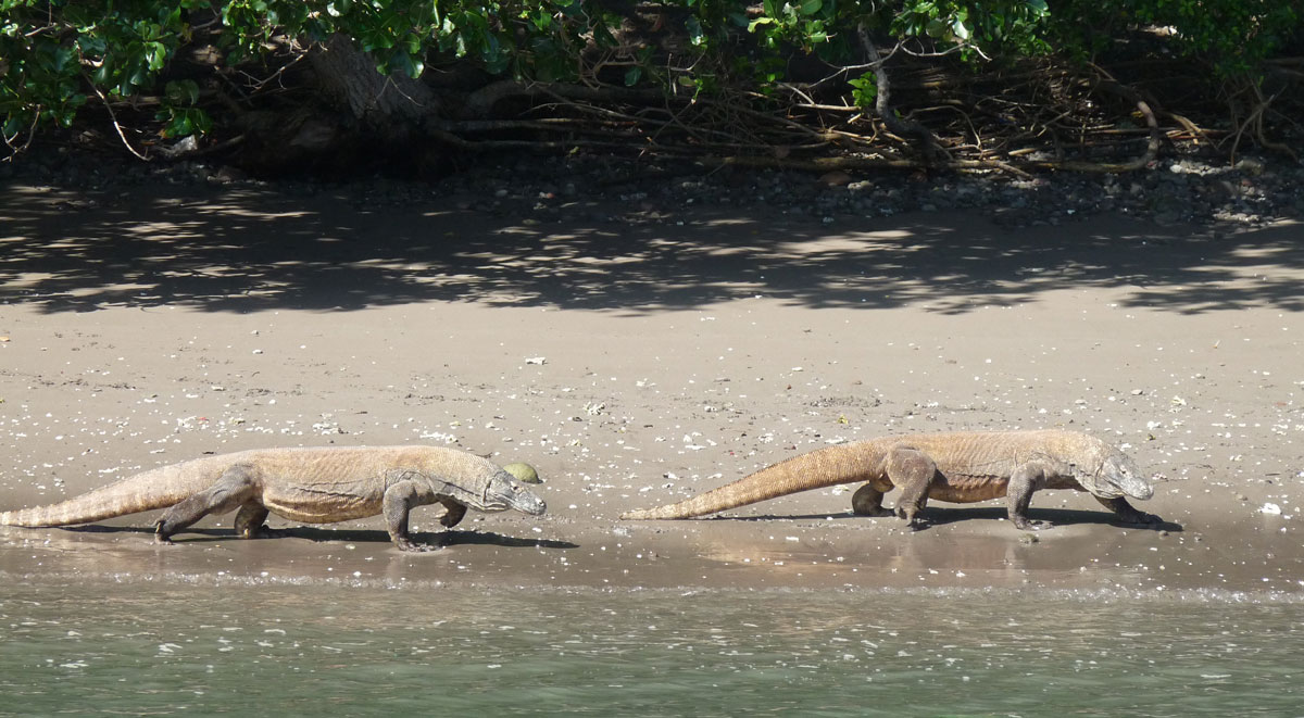 Komodo-Warane, Rinca/Komodo-Nationalpark
