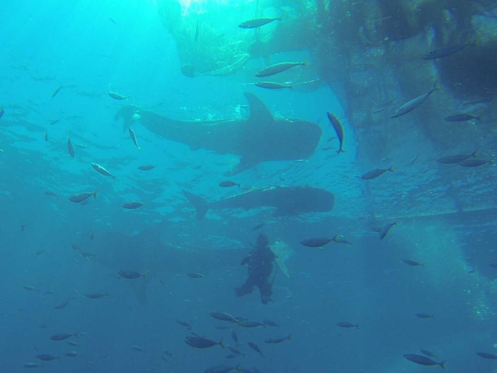 Walhaie in der Cenderawasih Bay (Fotos aus GoPro-Video)