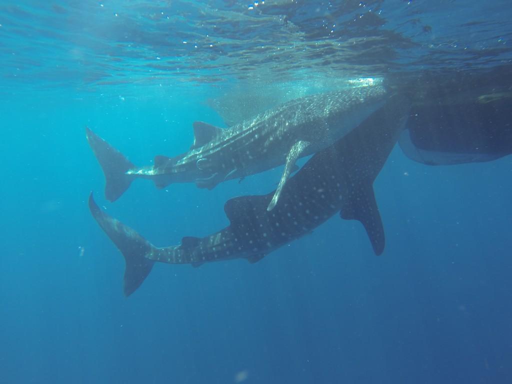 Walhaie Cenderawasih Bay
